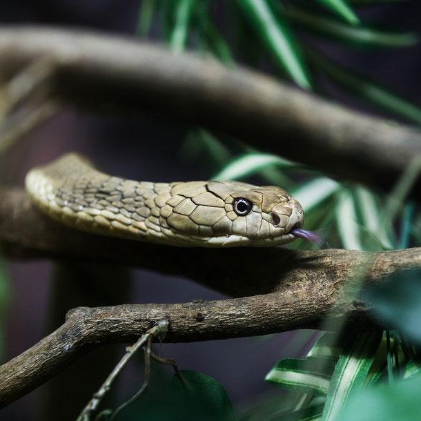 Monokelkobra - sehr gefährliche Schlange in Thailand
