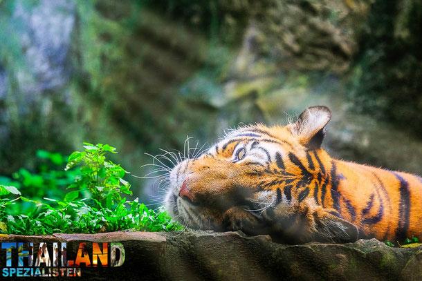 Wilde Tiger im Nord-Thailändischen Dschungel
