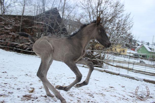 http://www.yeguada-estrellita.de/unsere-pferde/verkaufspferde/amoroso/