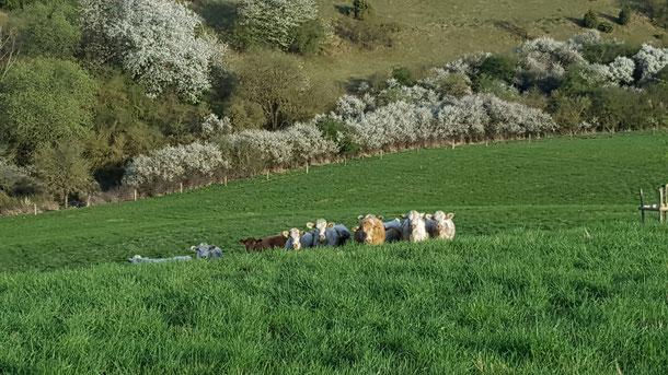 Rinderherde betreibt Naturschutz: Auf Kalkmagerweiden nahe Hofgeismar