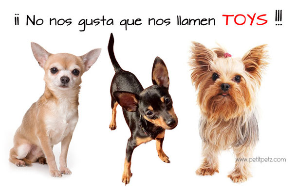 Estafa Yorkshire terriers chihuahuas raton de praga