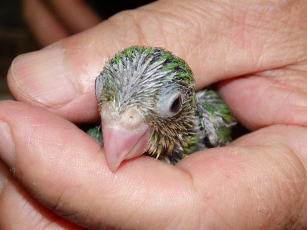 福岡県手乗りインコ小鳥販売店ペットショップミッキンに手乗りマメルリハインコのヒナが仲間入りしました。