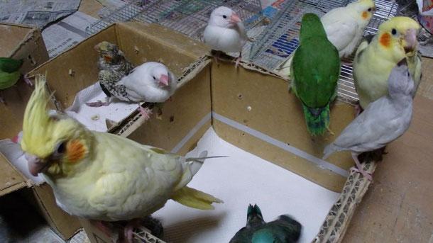 福岡県手乗りインコ小鳥販売ペットショップミッキン 手乗りインコのヒナいっぱい仲間入りしました。