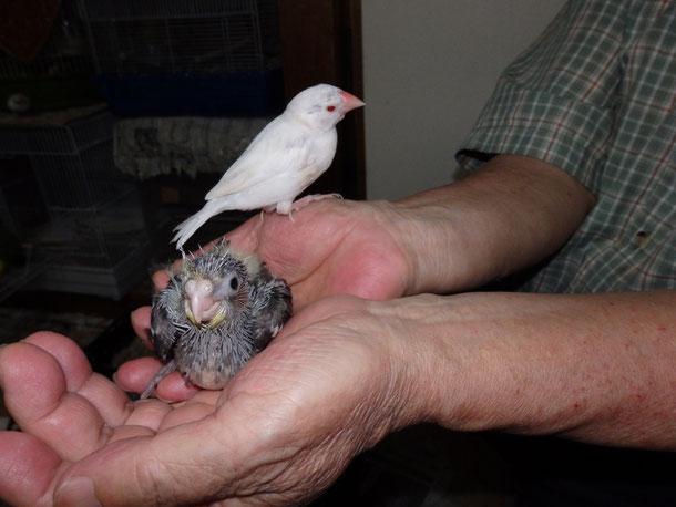 福岡県手乗りインコ小鳥販売ペットミッキンに手乗りオカメインコのヒナが仲間入りしました。