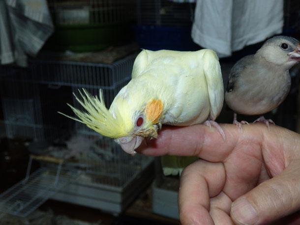 福岡県手乗りインコ小鳥販売ペットショップミッキンに手乗りオカメインコのヒナが仲間入りしました。