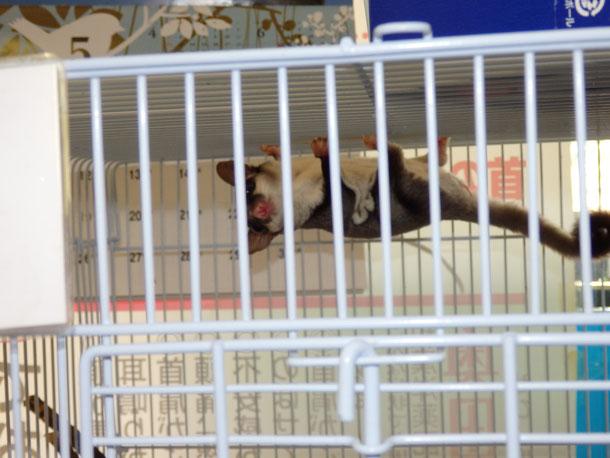 福岡手乗りインコ小鳥販売ペットショップミッキンにモモンガが仲間入りしました。