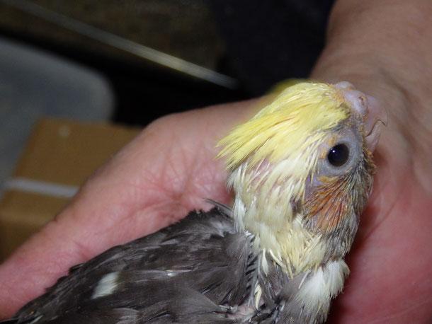 福岡県手乗りインコ小鳥販売ペットショップミッキンに手乗りオカメインコが仲間入りしました。