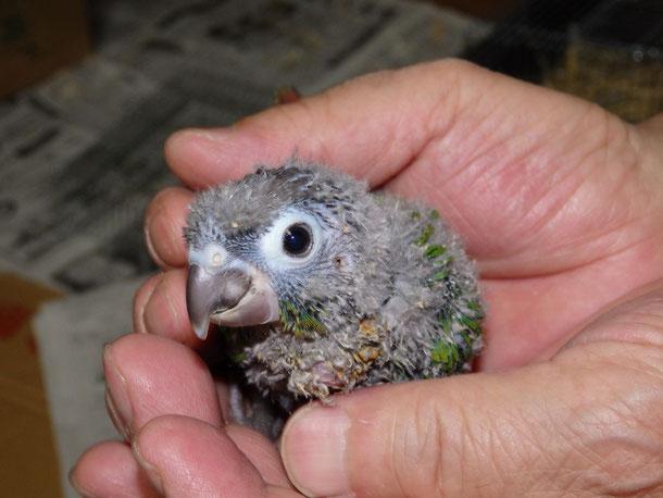 福岡県手乗りインコ小鳥販売ペットショップミッキンに手乗りウロコインコが仲間入りしました。
