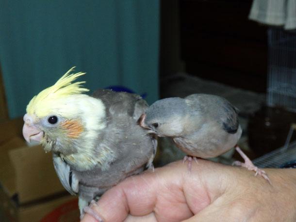 福岡県手乗りインコ小鳥販売ペットショップミッキンに手乗りオカメインコヒナがが仲間入りしました。