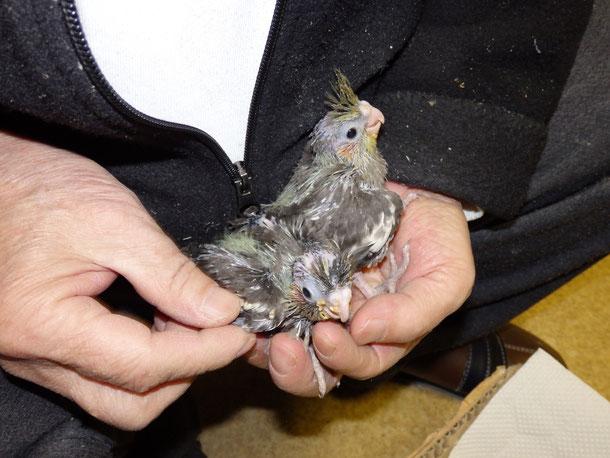 福岡県手乗りインコ小鳥販売店ペットショップミッキンに手乗りオカメインコのグレーのヒナが仲間入りしました。