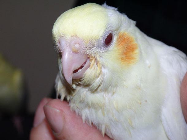 福岡県手乗りインコ小鳥販売ペットショップミッキン 手乗りオカメインコのヒナが仲間入りしました。