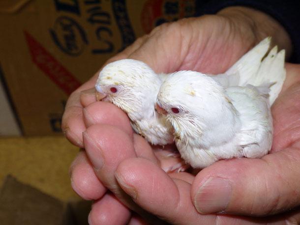福岡県手乗りインコ小鳥販売店ペットショップミッキンにルチノー真っ白セキセイインコのヒナが仲間入りしました。