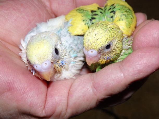 福岡県手乗りインコ小鳥販売店ペットショップミッキンにケンソンパイドとグリーンパイド高級セキセイインコのヒナが仲間入りしました。