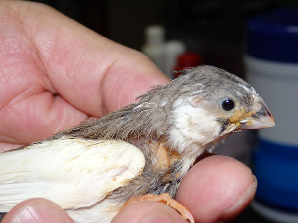 福岡県手乗りインコ小鳥販売店ペットショップミッキンに手乗りコキンチョウのヒナが仲間入りしました。