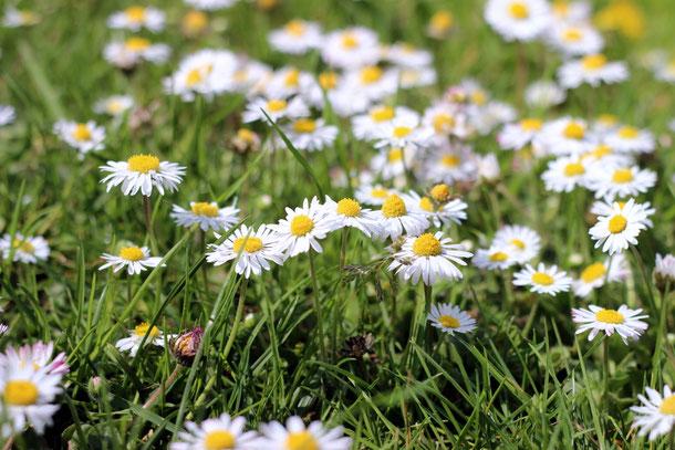 wiese, daisies, gänseblümchen, blumenwiese, blumen, hippielieder, hippies, weiß, orange, gras, grün, makro, nah