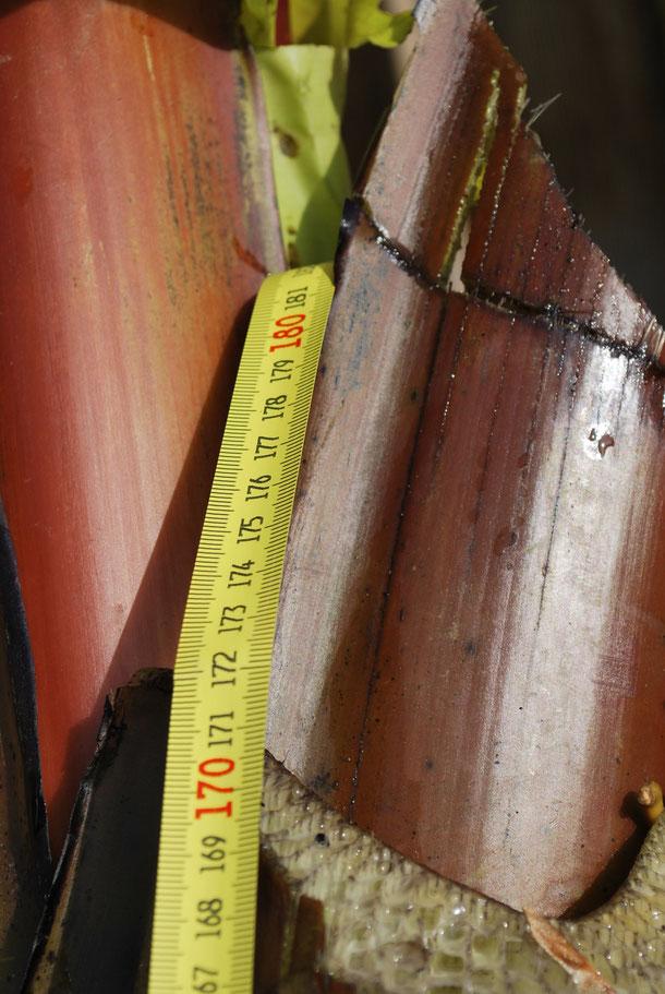 Stammhöhe - 1,70 Meter
