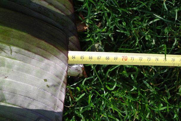 Blattbreite, mittig gemessen - ungefähr 65 cm
