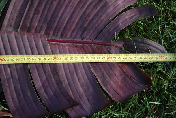 Blattlänge 2013 - ungefähr 2,70 Meter