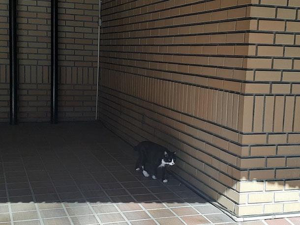 35℃を超える暑さの中、お散歩をしていた猫。日陰を選んで歩いています。