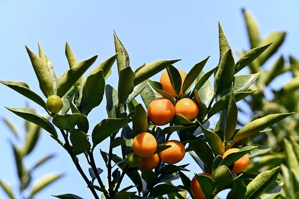 金柑の収穫量日本一の宮崎県、皮には豊富なビタミンCが含まれます