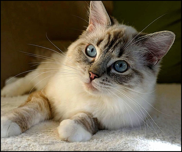 Kleo / seal tabby mitted