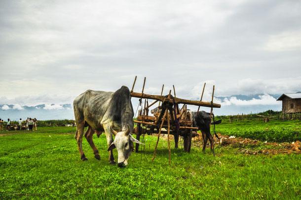 Landschaft am Inlelake im Shan Staat
