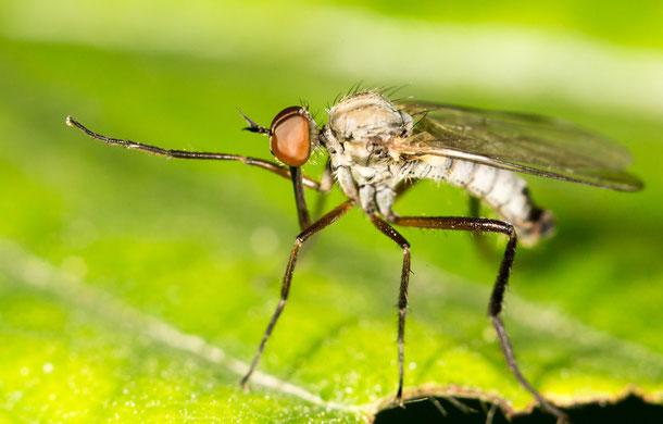 Culex tritaeniorhynchus übertrögt das Virus der japanischen Enzephalitis