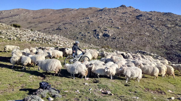 Gregge di pecore di Raffaele Pinna in prossimità del villaggio nuragico di Ruinas a 1.200 mt s.l.m.