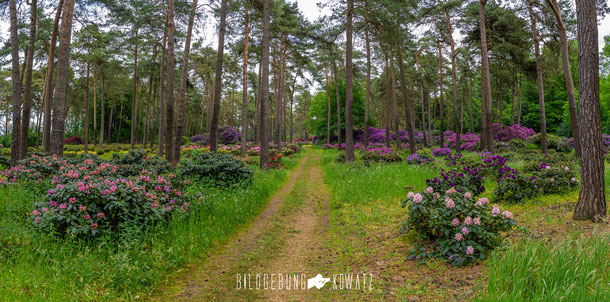 Rhododendronwald