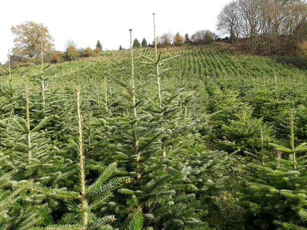 Eine unserer Weihnachtsbaumkulturen