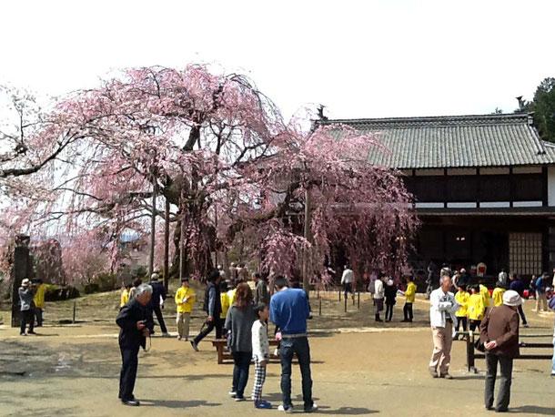 麻績の舞台桜