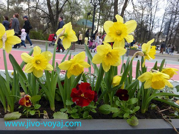 Весна в парке. Нарциссы