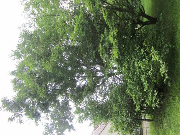 エノキ タマムシが飛び回る木