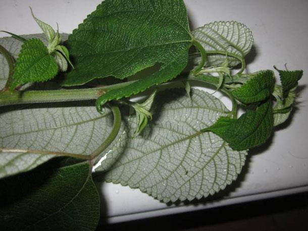 カラムシの葉の裏は白い