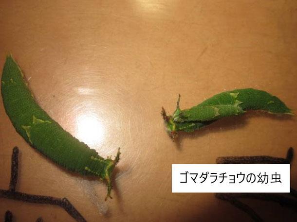 幼虫達の様子