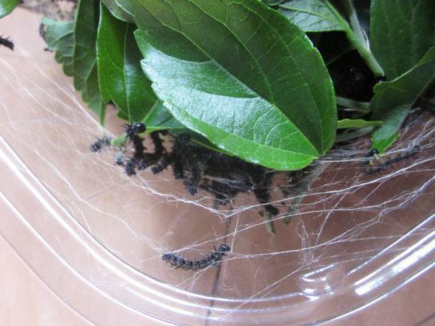 ヒオドシチョウの4齢?幼虫