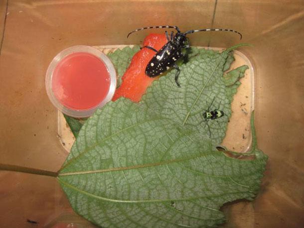 えさ カミキリムシ 身近な昆虫図鑑:ヨツスジトラカミキリの成虫(1)