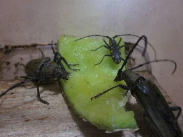 キボシカミキリがメロンを食べる