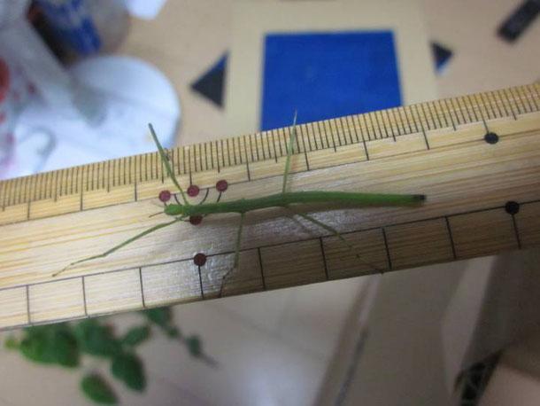 ちょっと成長したナナフシの幼虫