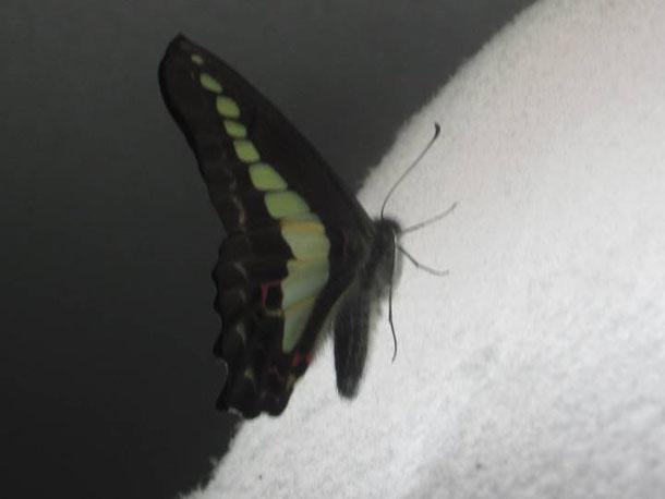 羽化したアオスジアゲハ