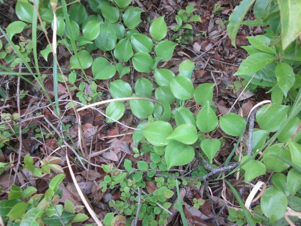 サルトリイバラの葉形2