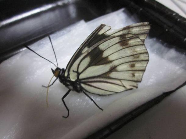 ゴマダラチョウ春型