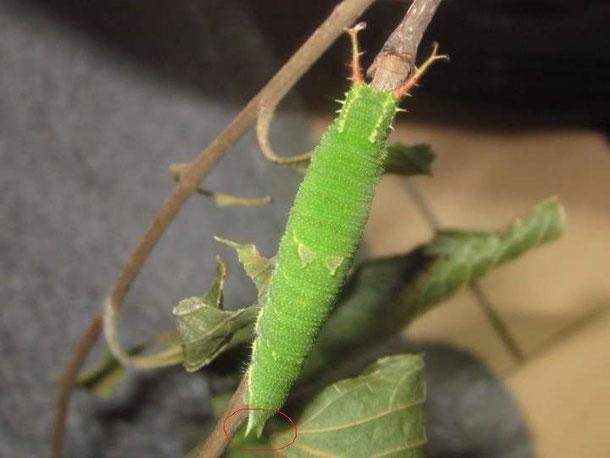 ゴマダラチョウの終齢幼虫