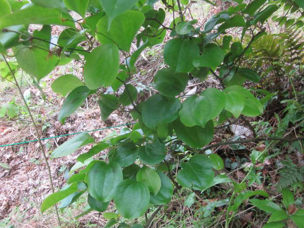 サルトリイバラの葉形は丸い
