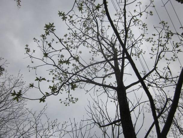 若葉が出て来た落葉広葉樹