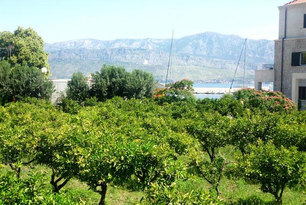Olivenbäume.