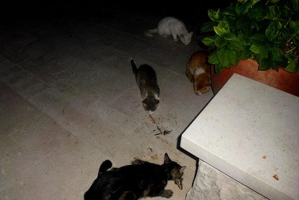 Unsere kroatischen Pflegekatzen, sie wurden jeden Tag von uns gefüttert.