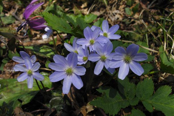 オオミスミソウ 薄紫のタイプ