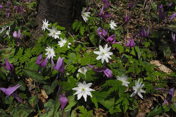 キクザキイチゲとカタクリ 山肌一面に咲く