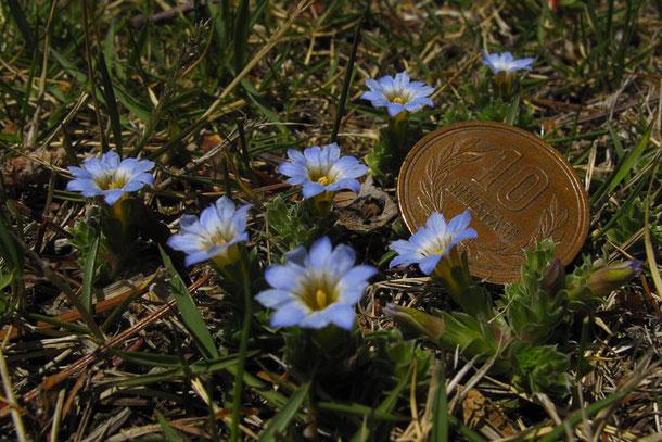 10円玉と比較 コケリンドウはこんなに小さい